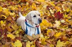 Chien contre le contexte des feuilles d'automne Photo stock