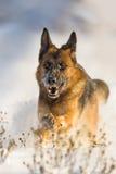 Chien couru dans la neige photographie stock