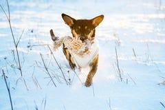 Chien couru dans la neige d'hiver Photos stock
