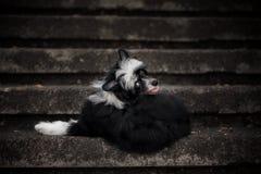 Chien crêté chinois heureux se trouvant sur les escaliers en pierre photos libres de droits