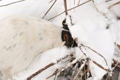 Chien creusant un trou dans la neige images stock