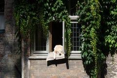Chien détendant à Bruges images libres de droits