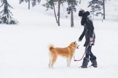 Chien d'Akita marchant avec le propriétaire le jour neigeux en parc Images libres de droits