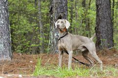 Chien d'arme à feu de Weimaraner, photo d'adoption d'animal familier, Monroe Georgia Etats-Unis photos libres de droits