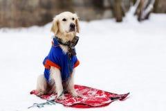 chien d'arrêt d'or attendant son maître image libre de droits