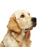 chien d'arrêt d'or Image stock