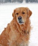 chien d'arrêt d'or photo stock