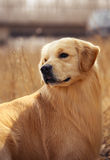 chien d'arrêt d'or d'animal familier de crabot Photographie stock
