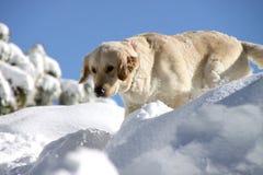 Chien d'arrêt d'or dans la neige Photo stock