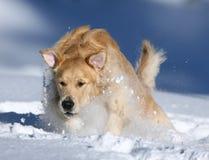 Chien d'arrêt d'or dans la neige Photographie stock