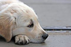 chien d'arrêt d'or de chiot Photographie stock libre de droits