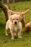 chien d'arrêt d'or de chiots Photo libre de droits