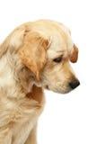 chien d'arrêt d'or de verticale images libres de droits