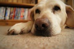 Chien d'arrêt d'or Labrador images libres de droits
