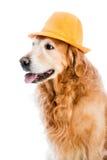 Chien d'arrêt dans le chapeau Photo stock