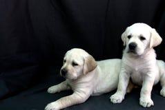 chien d'arrêt de 2 pupppies de Labrador Photos stock