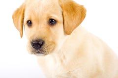chien d'arrêt de chiot de Labrador photographie stock libre de droits