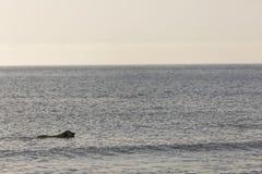 Chien d'arrêt de Goden se baignant sur la plage Photos libres de droits