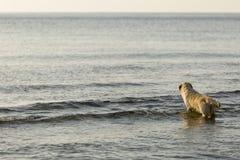 Chien d'arrêt de Goden se baignant sur la plage Photo stock