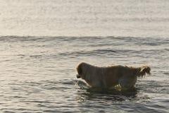 Chien d'arrêt de Goden se baignant sur la plage Image libre de droits