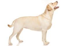 Chien d'arrêt de Labrador image stock