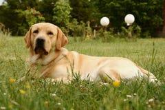 Chien d'arrêt de Labrador Photo stock