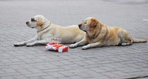 Chien d'arrêt de Labrador Photos libres de droits