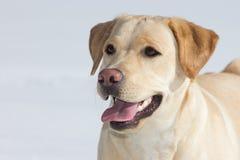 Chien d'arrêt de Labrador Photographie stock libre de droits