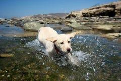 chien d'arrêt de Labrador Images libres de droits