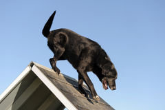 Chien d'arrêt de Labrador aîné dans l'agilité Image stock
