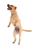 Chien d'arrêt de Labrador branchant Photographie stock libre de droits
