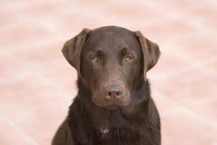 Chien d'arrêt de Labrador - chef en fonction Photos libres de droits