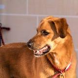 Chien d'arrêt de Labrador d'or Photo libre de droits