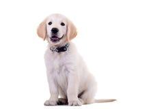 Chien d'arrêt de Labrador d'or curieux Images libres de droits