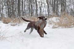 Chien d'arrêt de Labrador de chocolat Images stock