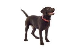 chien d'arrêt de Labrador de chocolat Photos libres de droits