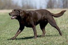Chien d'arrêt de Labrador de chocolat dans le domaine Photo libre de droits