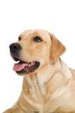 chien d'arrêt de Labrador de crabot Photos stock