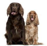 Chien d'arrêt de Labrador et épagneul anglais de cocker Images stock