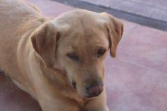 Chien d'arrêt de Labrador femelle Images stock