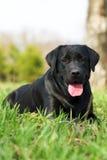 Chien d'arrêt de Labrador heureux de crabot Images libres de droits