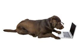 Chien d'arrêt de Labrador intelligent sur l'ordinateur portatif Photographie stock libre de droits