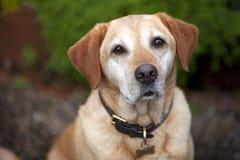 Chien d'arrêt de Labrador jaune   Images stock