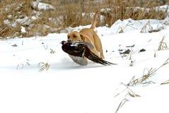 Chien d'arrêt de Labrador jaune Photo libre de droits