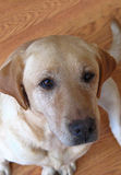 Chien d'arrêt de Labrador jaune Photos libres de droits