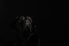 Chien d'arrêt de Labrador noir photo stock