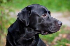 Chien d'arrêt de Labrador noir Photos libres de droits