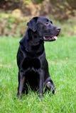 Chien d'arrêt de Labrador noir Photos stock