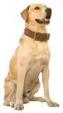chien d'arrêt de tapotement du découpage inc. Labrador Photos stock