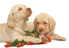 chien d'arrêt deux de chiots de labradors photographie stock libre de droits